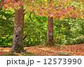 モミジバフウ 紅葉葉楓 紅葉の写真 12573990