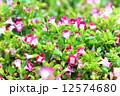 花 トレニア トレニア属の写真 12574680