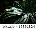 葉っぱ 雨 水滴の写真 12591324