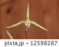 寒蘭 東洋ラン 野生蘭の写真 12598287