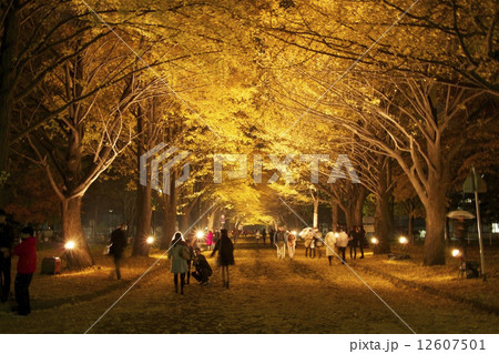 北海道大学 銀杏並木 12607501