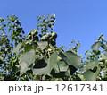 これから黒く熟し白い種を生むナンキンハゼの未熟な実 12617341