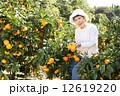 みかん みかん狩り 蜜柑の写真 12619220