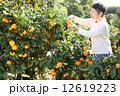 みかん みかん狩り 蜜柑の写真 12619223