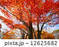 紅葉 木 もみじの写真 12625682