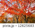 紅葉 木 もみじの写真 12625683