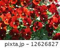 ビオラ 花 パンジーの写真 12626827