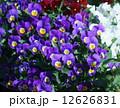 ビオラ 花 満開の写真 12626831