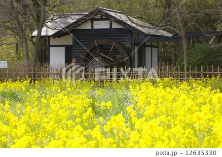 菜の花と水車小屋(横浜市青葉区ふるさと村) 12635330