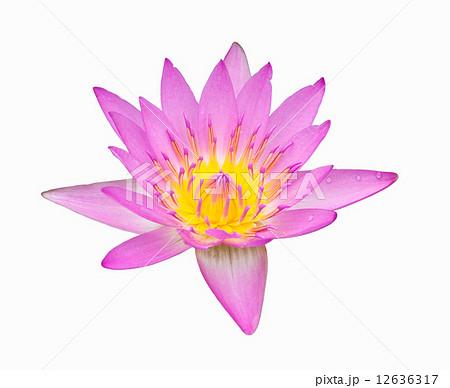pink color lotusの写真素材 [12636317] - PIXTA