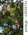 栴檀の実 栴檀 実の写真 12636741