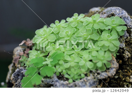 岩に生える植物 12642049