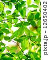 枝 植物学 植物の写真 12650402