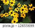 ルドベキア アラゲハンゴンソウ 花の写真 12655699