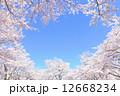 満開の桜 12668234
