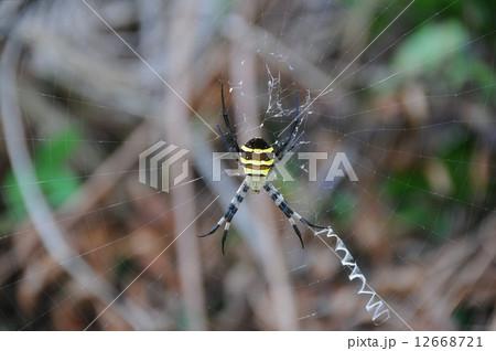 蜘蛛 12668721