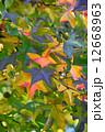 モミジバフウ 紅葉 葉の写真 12668963