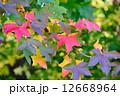 モミジバフウ 葉 植物の写真 12668964