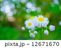 ハルジオン 花 野草の写真 12671670