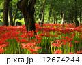 巾着田 群生地 満開の写真 12674244