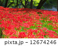 巾着田 群生地 満開の写真 12674246