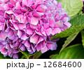 Tender hydrangea purple flower 12684600