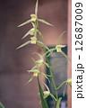 東洋蘭 蘭 花の写真 12687009