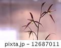 東洋蘭 蘭 花の写真 12687011