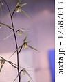 寒蘭 土佐寒蘭 東洋蘭の写真 12687013