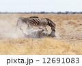 動物 野生 縞の写真 12691083