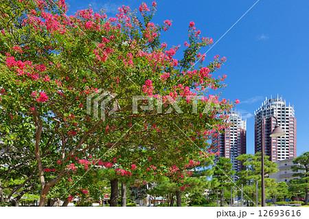 お台場海浜公園の鮮やかなピンク色のサルスベリの花に青空 12693616