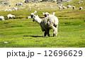 アルパカ 12696629