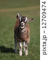 ヤギ 山羊 子ヤギの写真 12709474