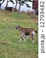 ヤギ 山羊 子ヤギの写真 12709482