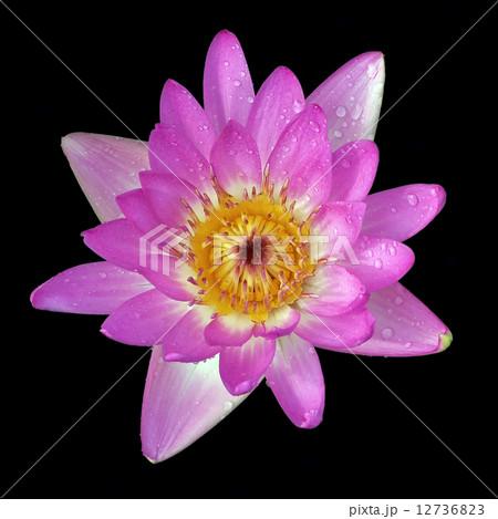 lotus flowerの写真素材 [12736823] - PIXTA