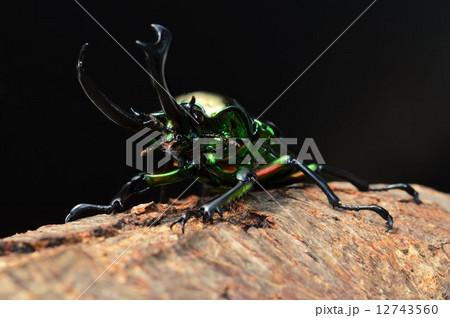 ニジイロクワガタの樹木の上で 黒バックの写真素材 [12743560] - PIXTA
