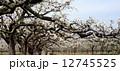 梨の花 ナシの花 なしの花 12745525