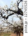 梨の花 ナシの花 なしの花 12745526