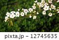 梨の花 ナシの花 なしの花 12745635