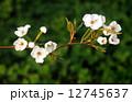 梨の花 ナシの花 なしの花 12745637