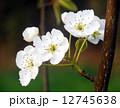梨の花 ナシの花 なしの花 12745638