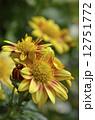 きく 花 菊の写真 12751772