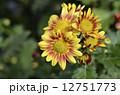 きく 花 菊の写真 12751773