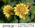 きく 花 菊の写真 12751774