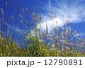 すすき 青空 秋の写真 12790891