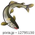 ベクター 鮎 魚のイラスト 12795130