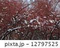 Wild apple-trees 12797525