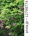 五葉木通 ゴヨウアケビ 花の写真 12798774