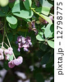 五葉木通 ゴヨウアケビ 花の写真 12798775