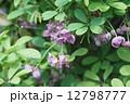 五葉木通 ゴヨウアケビ 花の写真 12798777